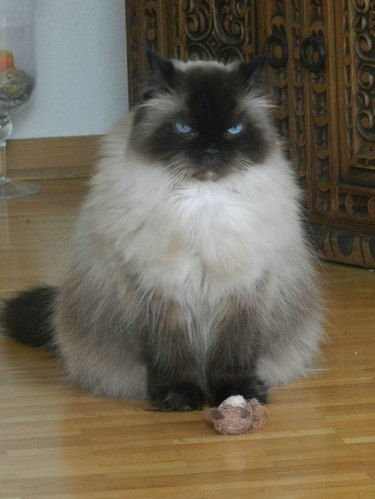 Grumpy looking cat with a toy.