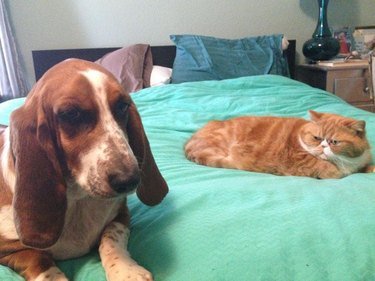 Dog and cat on bed glaring at each other.