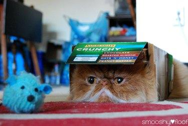 Grumpy looking cat in a box.