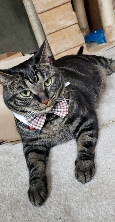 Cat in a checkered bowtie