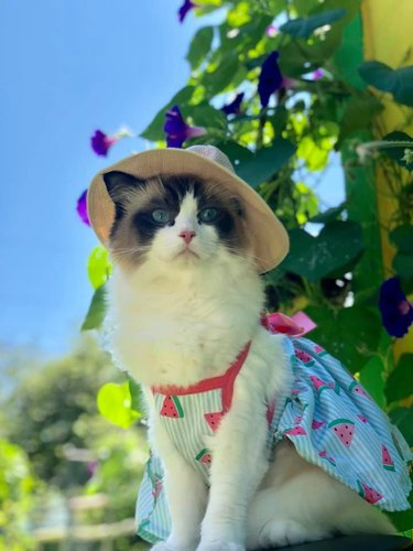 Cat in a sun hat and watermelon print dress