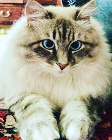 fluffy blue eyed cat