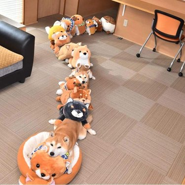 Line of stuffed animals with two Shiba Inus hidden in it.