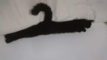 cat looks like coat hanger with curled tail