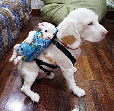 Dog wearing a backpack with a puppy in it.