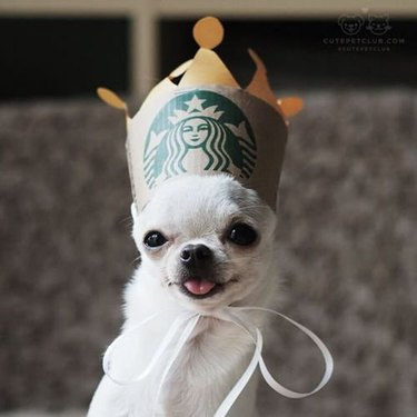 Silly dog in a crown made from a coffee sleeve