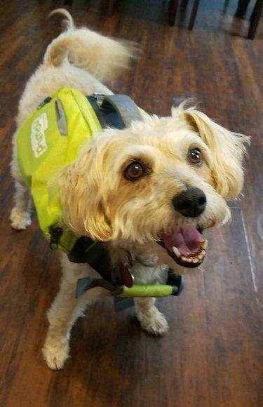 Dog wearing a backpack.