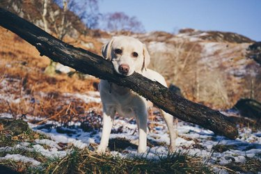 dog carries big stick