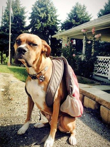Grumpy dog wearing a backpack.
