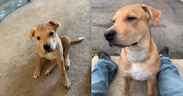 before and after pics show cute puppy all grown up and smoldering