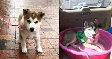 before and after pics show husky-ish puppy all grown up