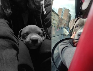 before and after pics show cute puppy all grown up and on a bus