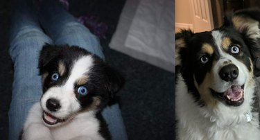 before and after pics show cute puppy all grown up
