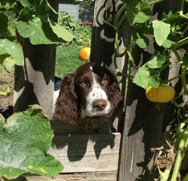 Dog looking through hole in wooden fence