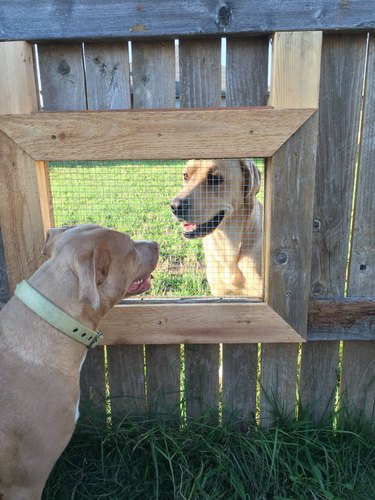 Dogs looking at each other through mesh-covered hole in wooden fence.