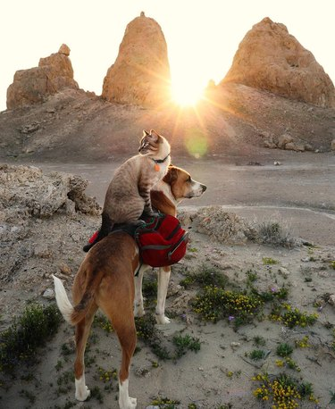 Cat sitting on top of a dog in the desert at sunset