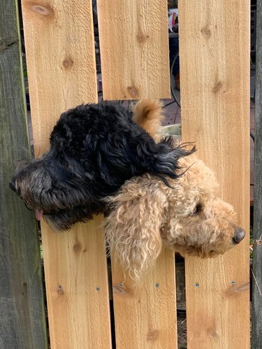 Two dogs sticking their heads out of a hole in a wooden fence.