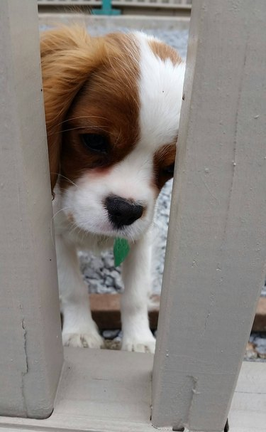 Dog looking through slats of wooden fence.