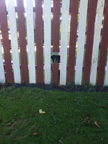 Dog looking through cutout in wooden fence