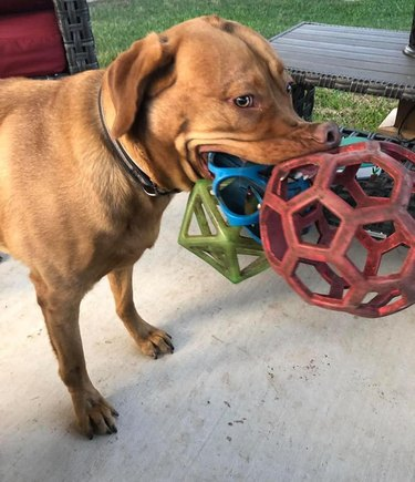 dog carries lots of toys