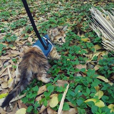 Kitten wearing a leash