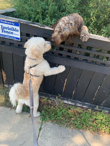 "Two dogs sniffing over the top of a fence labeled ""Invisible Fence"""