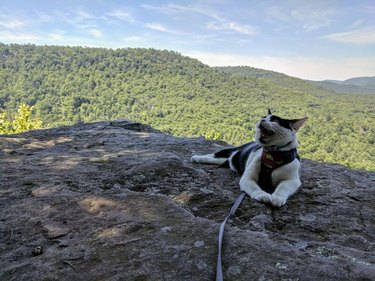 Cat meowing on a mountaintop.