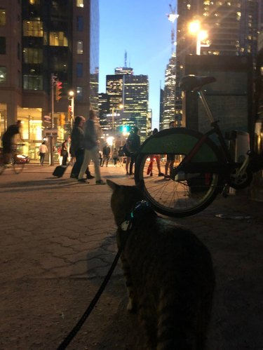 Cat on a leash in a city at night