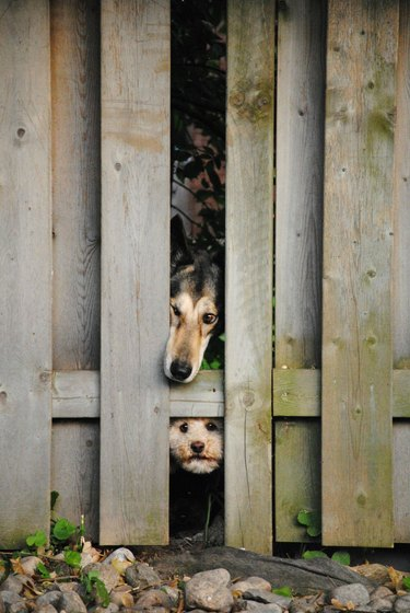 Two dogs looking through broken wooden fence.