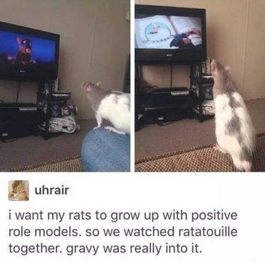 Rat watching the movie Ratatouille