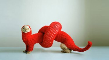 Ferret in a costume that makes it look like it's tied in a knot