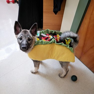 Dog dressed as a taco