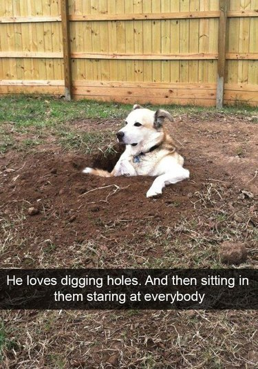 Dog dug a hole and is sitting in it, looking kind of judgemental