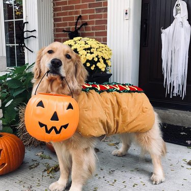 dog dressed in hot dog costume for Halloween