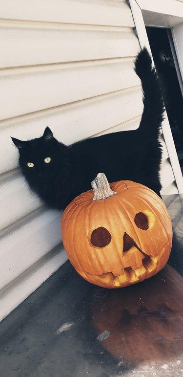 Black cat and jack o lantern
