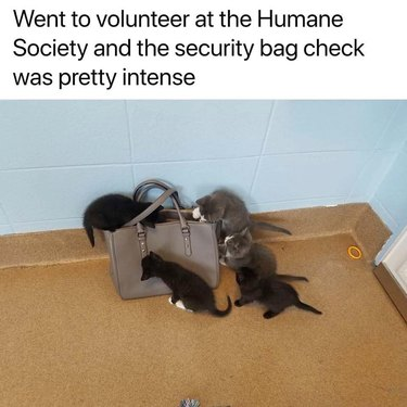 kittens investigate purse