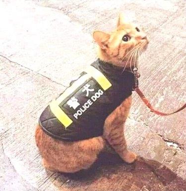 cat wearing police dog vest