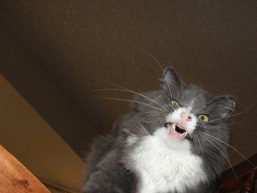 Cat sneezing.