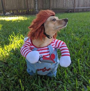 Cute dog in Chucky costume