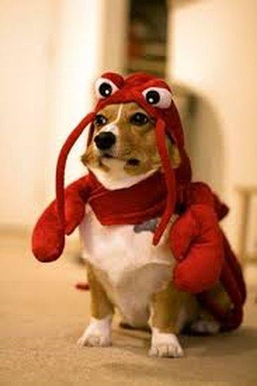 Dog dressed up like lobster