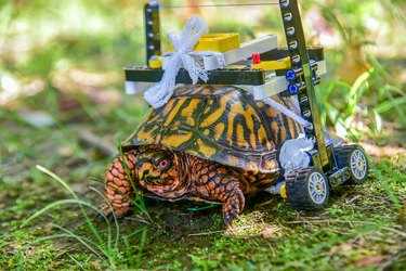Wheelchair built with LEGO puts injured turtle on the road to recovery