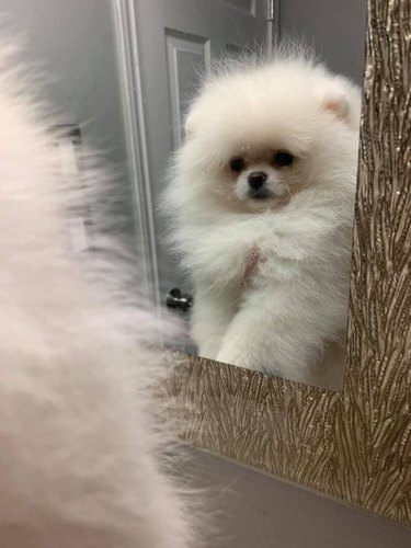 fluffy dog looks at mirror