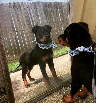 dog models bandana in mirror