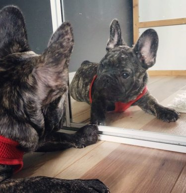 dog confused by mirror