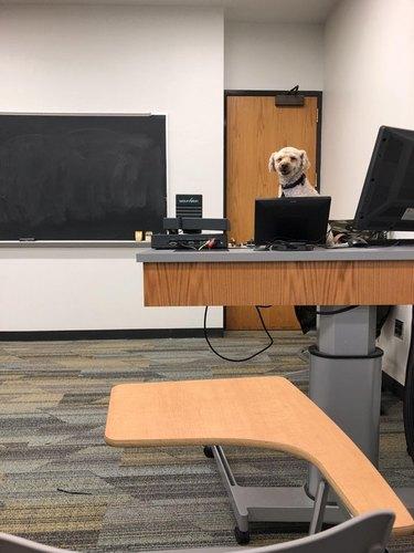 Dog behind teacher's desk.