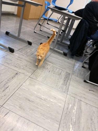 Cat walking through classroom