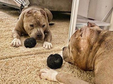 dog stares at mirror