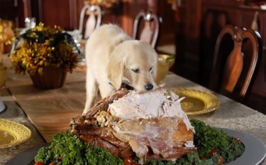 dog eating a whole turkey