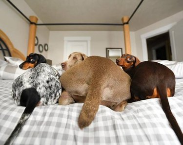three dogs with big butts