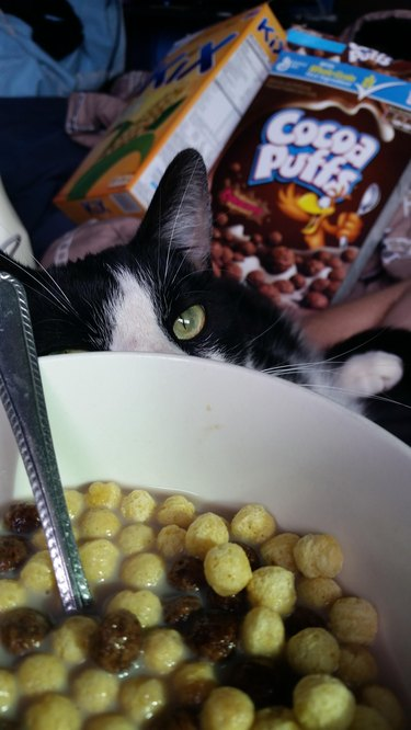 Cat stalking bowl of cereal